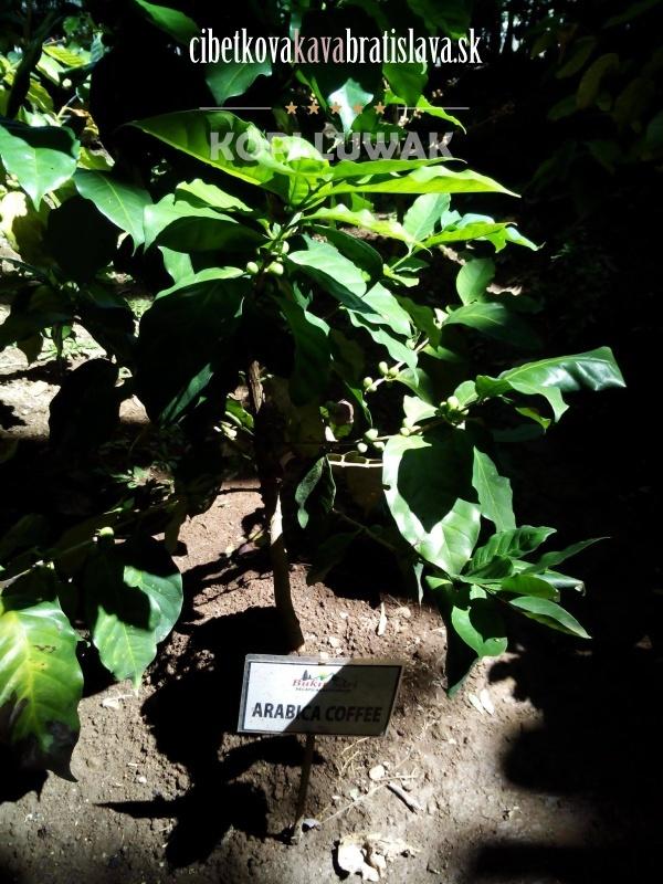 Kávovníkový strom